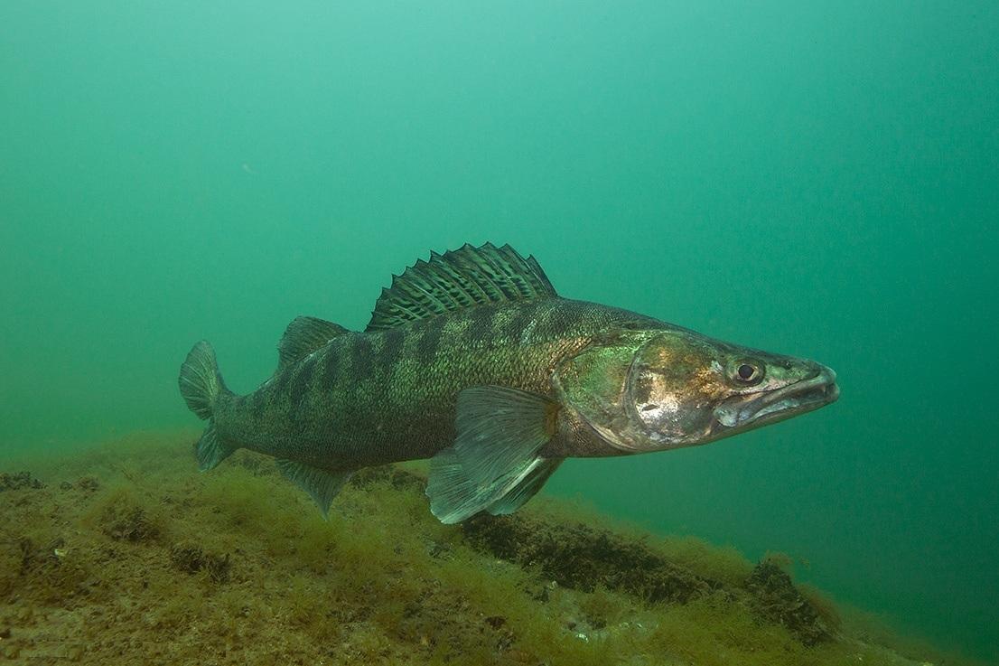 Описание и способы ловли рыбы судак