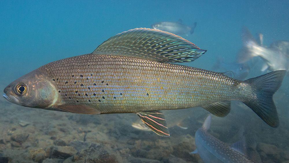 Описание и фото рыбы хариус