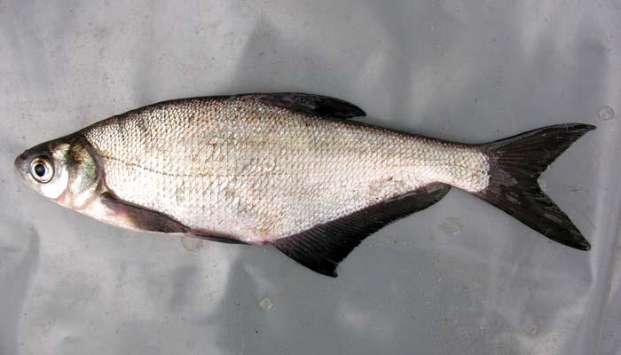 Описание и фото рыбы синец